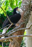 Portrait of colorful female wreathed hornbill bird sitting on the branch in rainforest stock photos
