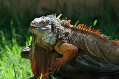 Portrait of colorful iguana Royalty Free Stock Image