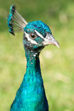 Portrait of a colorful male peacock (Pavo) Royalty Free Stock Photography