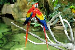 Portrait of colorful pair Scarlet Macaw parrot against jungle background royalty free stock image