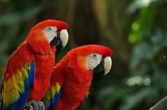 Portrait of colorful pair Scarlet Macaw parrot against jungle background stock photo