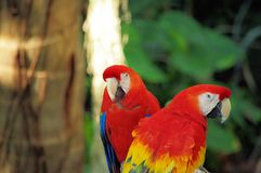 Portrait of colorful pair Scarlet Macaw parrot against jungle background stock images