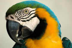 Portrait of a colorful parot. Parrot with downcurved hooked bill Royalty Free Stock Photo