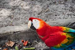 Portrait of colorful Scarlet Macaw. Guyana, South America stock image