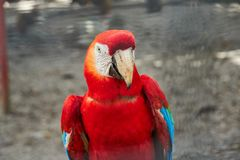 Portrait of colorful Scarlet Macaw. Guyana, South America royalty free stock image