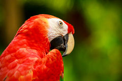 Portrait of colorful Scarlet Macaw parrot Royalty Free Stock Photos