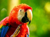 Portrait of colorful Scarlet Macaw parrot Royalty Free Stock Photo