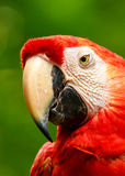 Portrait of colorful Scarlet Macaw parrot Royalty Free Stock Photography
