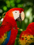 Portrait of colorful Scarlet Macaw parrots Stock Photos