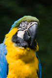 Portrait of coloured bird parrot Stock Image