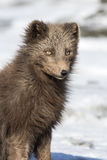 Portrait of a Commande's blue arctic fox on the background of th Stock Photography