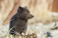 Portrait Commanders blue arctic fox looking in the side sunny Stock Photography
