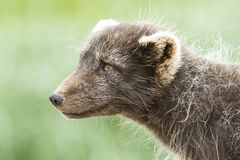 Portrait of a Commanders blue arctic fox in Royalty Free Stock Photo