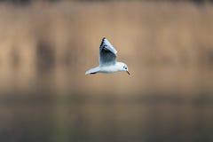 Portrait of common black-headed gull Larus ridibundus Royalty Free Stock Photos