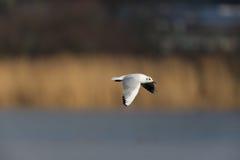 Portrait of common black-headed gull Larus ridibundus Stock Photo
