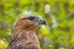 Portrait of Common Buzzard Stock Images