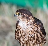 Portrait of a Merlin stock photos