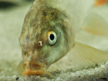 Portrait of common carp fish Royalty Free Stock Photos
