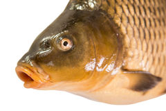 Portrait of Common carp Royalty Free Stock Image