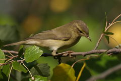 Portrait Common Chiffchaff perched on tree branch Royalty Free Stock Image