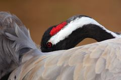 Portrait of common crane with hidden head in grey feathers, Lake Hornborga, Sweden Royalty Free Stock Photo