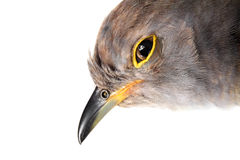 Portrait of a Common Cuckoo Royalty Free Stock Photos