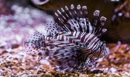 Portrait of a common devil fish, beautiful tropical fish from pacific ocean, popular aquarium pet in aquaculture. A portrait of a common devil fish, beautiful stock image