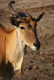 Portrait of a Common Eland Royalty Free Stock Photography