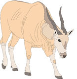 Portrait of a common eland antelope, standing Stock Photos