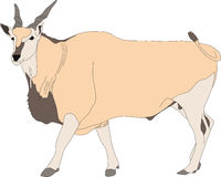 Portrait of a common eland antelope, standing Stock Photography