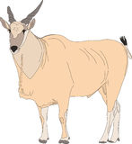 Portrait of a common eland antelope, standing Stock Photo