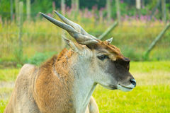Portrait of a Common Eland Royalty Free Stock Photo