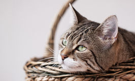 Portrait of a common european house cat Stock Photos