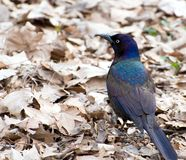 Portrait of Common Grackle. Standing on the ground Royalty Free Stock Photography
