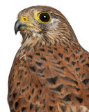 Portrait of Common Kestrel. Falco tinnunculus, a bird of prey in front of white background Stock Photography