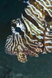 Portrait of a Common lionfish. Royalty Free Stock Images