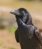 Portrait of a Common Raven stock photography