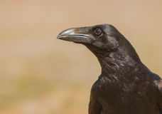 Portrait of a Common Raven royalty free stock images