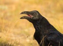 Closeup of  a Common Raven Stock Photos