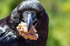 Portrait of a common raven, Corvus corax, holding a piece of bread in his beak royalty free stock photos
