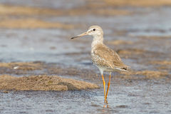 Portrait of Common Redshank Stock Images
