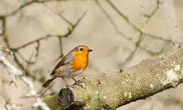 Portrait of common robin Royalty Free Stock Photos