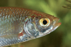 Portrait of Common rudd fish Royalty Free Stock Photo