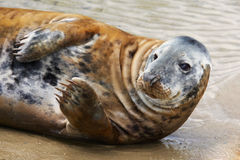 Portrait of a Common Seal Royalty Free Stock Image