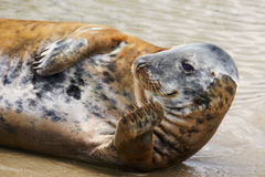 Portrait of a Common Seal. Sunbathing on the beach Stock Images
