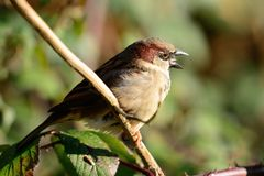 Sparrow singing on a branch. Portrait of a common sparrow perched on a branch while singing Stock Photos