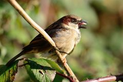 Sparrow singing on a branch. Portrait of a common sparrow perched on a branch while singing Stock Photography