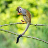 Portrait of common squirrel monkeys Royalty Free Stock Images