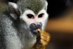 Portrait of the common squirrel New World monkeys of the genus Saimiri stock photography
