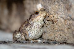 A portrait of a Common Toad set against a small stone wall.  Stock Photography